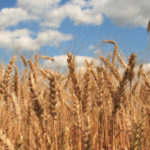 Grain futures mixed, corn at three-year low ahead of USDA crop estimate update