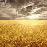 Grains trading outlook: wheat futures gain ahead of US crops report, corn and soybeans decline