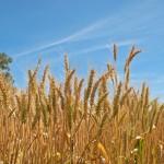 Japan suspends U.S. wheat imports