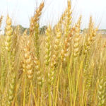 Grain futures mixed, wheat advances on speculation lower prices will induce buying