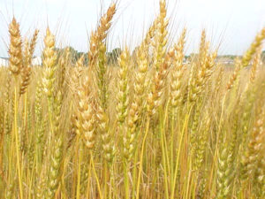 wheat-production_0